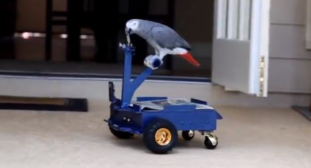 Engineering student creates drivable Bird Buggy for his parrot